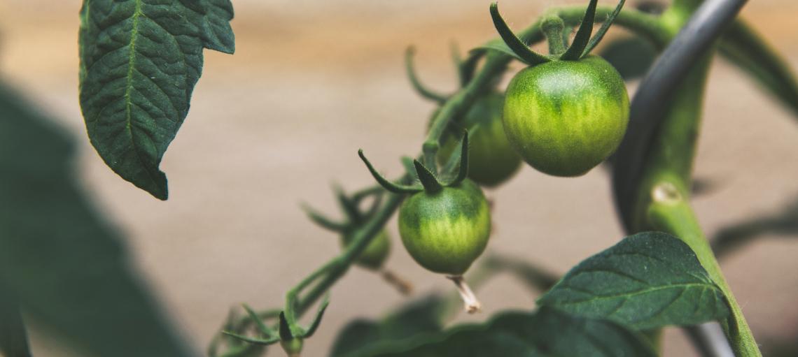 tomaquets-alimentacio-sostenible